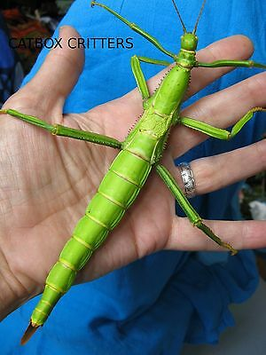 50 Eggs / Ova. Diapherodes Gigantea. Stick Insect. Phasmids. Science Education.