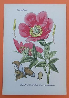 Korallen-Pfingstrose (Paeonia mascula) Bauernrose Rose  THOME Lithographie 1890
