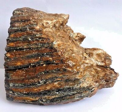 Fossil Mammoth Tooth - 12.8 x 8.7 cm - found at Brown Bank, North Sea, UK