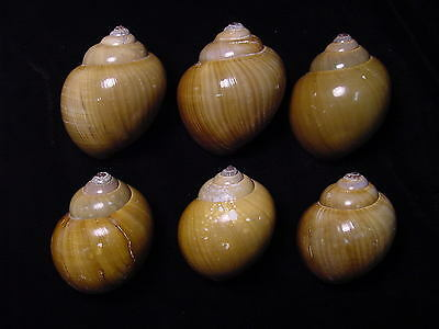 Hermit crab shells medium land snail set of 6