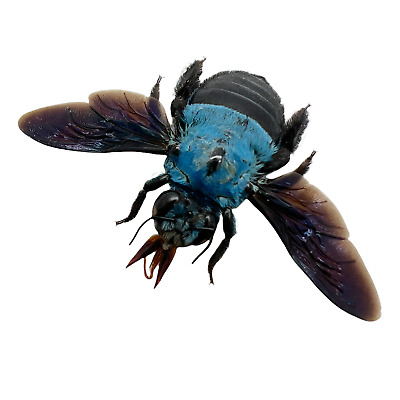 The Blue Carpenter Bee Xylocopa caerulea Insect Specimen Indonesia (F)
