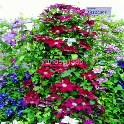 50PCS Mixed Colors Clematis Climbing Flower Seeds Home Garden Plants Decor UK