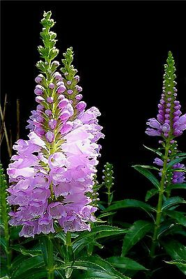 'Obedient plant' Physostegia virginiana x 25 seeds