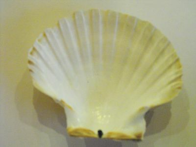 Scallop Sea Shells Beach Decor Craft Food 10 to 15cm (more than 100 available)