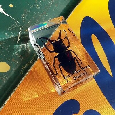Real Insect Paperweight - Mountain Stag Beetle