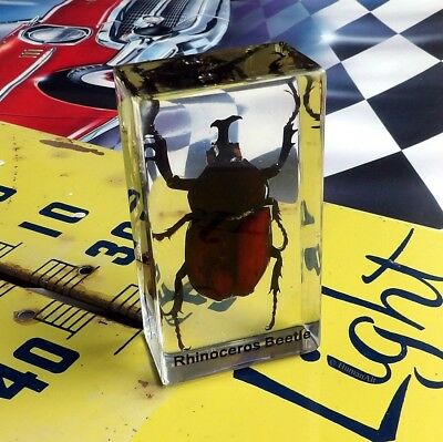 Real Insect Paperweight - Rhinoceros Beetle