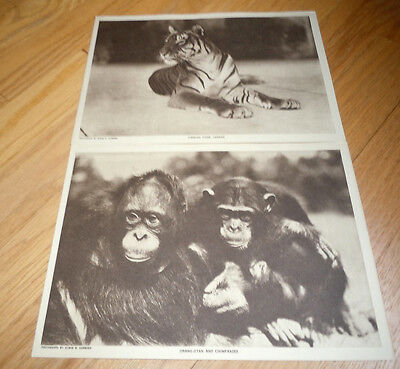 1919 THE MENTOR Magazine WILLIAM T. HORNADAY, NEW YORK ZOO + 6 Animal GRAVURES