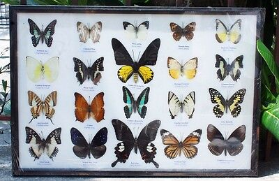 Real 20 Butterfly Mounted Display Framed Big Brookiana Birdwing Colorful Gift 2