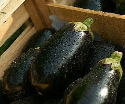 ☺100 graines d aubergine black beauty
