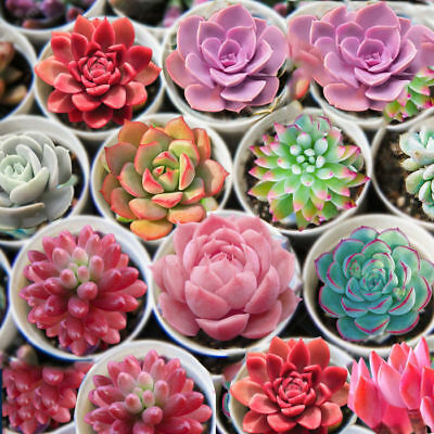 100PCS Seed Succulents Seeds Succulent Rare Mixed Potted Plant Home Garden Decor
