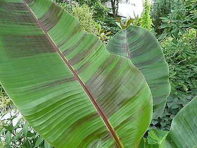 500 Seeds wholesale -  Musa sikkimensis 'Red Tiger' - Darjeeling Banana Plant
