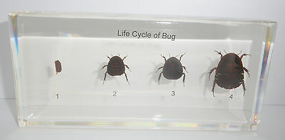 Turtle Cockroach Life Cycle Set Eupolyphaga sinensis Specimen Education Aid