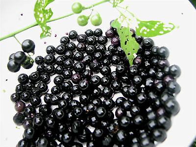 Chichiquelite berry. Edible, very productive, long cropping. 10 Seeds.