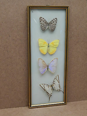 Vintage Brazil Mounted Butterfly Display in Convex Glass