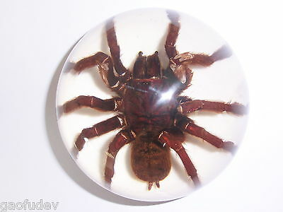 Tarantula Spider Insect Specimen 95 mm Dome Paperweight on White bottom