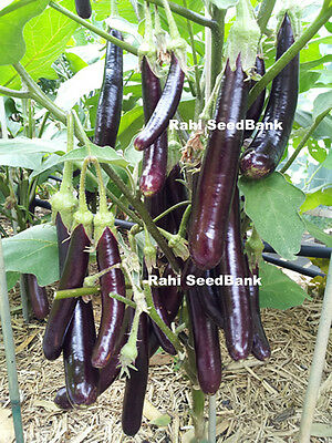 High-Yielding Asian Long Eggplant - A Less Bitter & Delicious Eggplant Variety