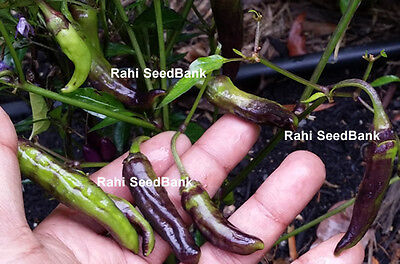 Peruvian Long Black Chilli - A Super High-yielding Hot & Spicy Chilli - 10 Seeds
