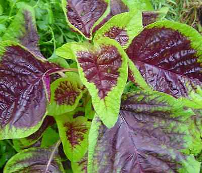 Amaranth Bi-Colour Green-Red - Delicious Chinese Leafy Spinach - 100 Seeds