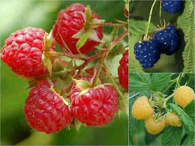 RASPBERRY Fruit Seed 3 Pack - RED BLUE YELLOW - Berry Edible Tree Sweet Rare