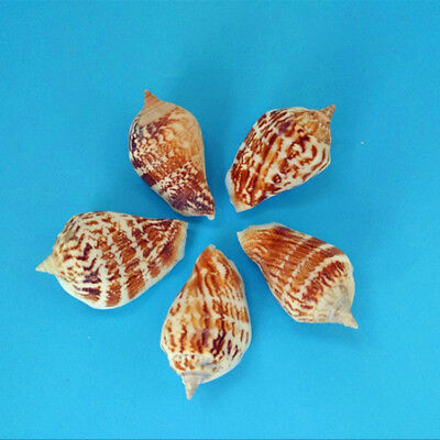 5pcs Natural Beautiful top rare real sea Shell Conch aquarium YBK019