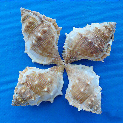 Natural Beautiful top rare real sea Shell Conch aquarium YBK032