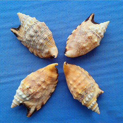 Natural Beautiful top rare real sea Shell Conch aquarium YBK042