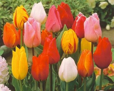 Pack 10 Garden Tulip Bulbs 'Mixed' Spring Flowering Bulbs