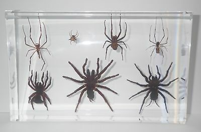 7 Spider Collection Set in clear large block Education Insect Specimen