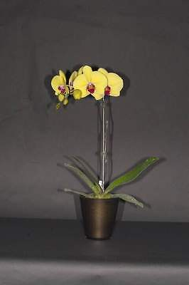 QOB Orchid Plant Phalaenopsis Dtps CX Yellow Butterfly 'CX654' 55mmPOT baby size
