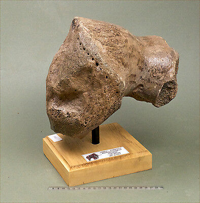 Heavy mounted section of humerus from a Wooly Mammoth.  Pleistocene.  1411