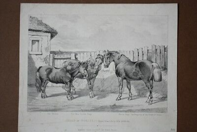 Group of Ponies, The Sheltie, The new forrest Pony, Horse Pony, Lithographie um