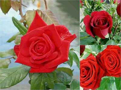 10 RED ROSE SEEDS. Garden Lover WEDDING Gift Beautiful ROMANCE