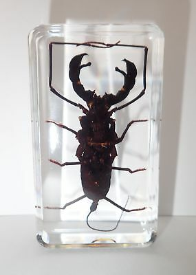 Whip Scorpion Typopeltis crucifer Specimen Real Insect Education Aid