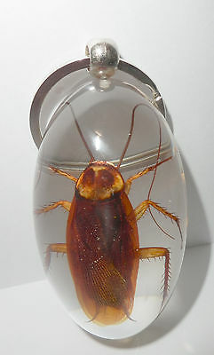 Insect Large Key Ring American Cockroach Periplaneta americana Specimen Clear