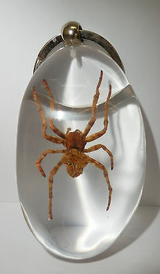 Insect Large Key Ring Ghost Spider Araneus ventricosus Specimen Clear