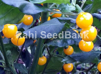 Pimenta Bode - A Stunning, Hot & Very Productive Chilli Variety - 10 Seeds
