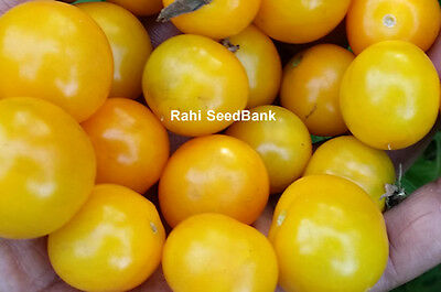 Sun Gold Cherry Tomato - One of the Best Tasting, Most Prolific Cherry Tomato!!!