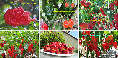 World's Official Top 6 Hottest Chilli Pack - Australian Grown - 60+ Seeds!