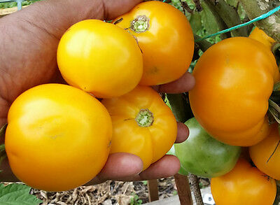 Lemon Boy Tomato - One of the Most Popular Yellow Tomato Variety - 10 Seeds!!!