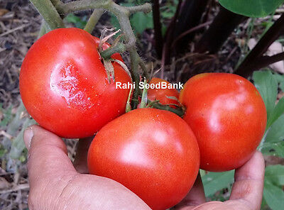 Father Tom Tomato - A Disease Resistant Very Prolific Gourmet tomato - 10 Seeds!