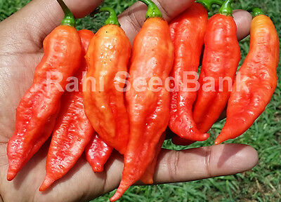 Bhut Jolokia/Ghost Chilli: 25+ Seeds - One of the Hottest Chilli in the World