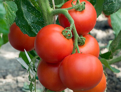 Truss Tomato - A Small, Round, Sweet & Crunchy Type Sweet Flavoured Tomato