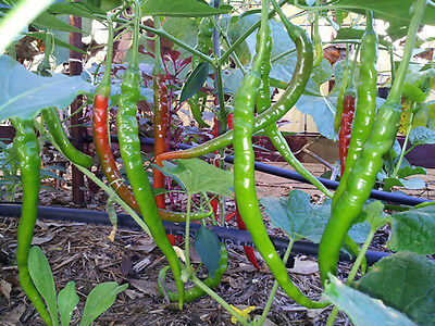 HOT Long Dragon Chilli - 10 Seeds