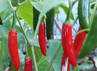 Guacamole Chilli - A Widely Used Mexican Chilli Around the World