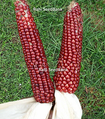 Red Corn Ruby Queen - A Red Sweet Corn with Superb Sweet & Robust Flavour!!!