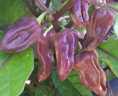 PURPLE Bhut Jolokia/Ghost Chilli: 20 Seeds - One of the hottest in the world