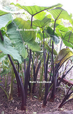 TARO - Beautiful Purple Green - 1 Small Plant