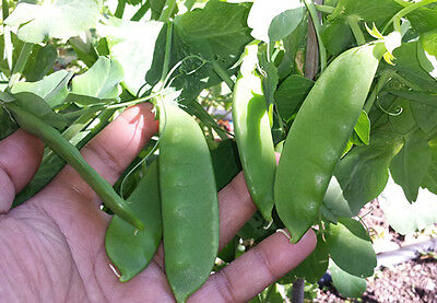 Snow Peas Green - Mammoth Melting - Eat them Raw, Steamed or Stir fry - 10 Seeds