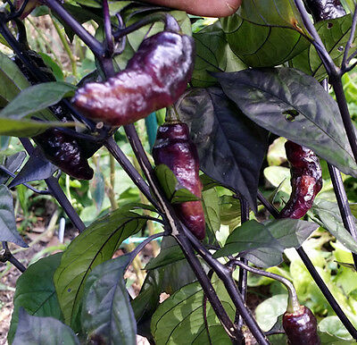 Ghost Black Chilli - A Hot Cross Chilli Between Bhut Jolokia X Pimenta Da Neyde!