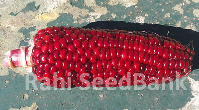 Corn Red Queen - A Rare, Stunning Red Colour Corn Variety!!!